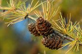 Larch Branch With Cones In Autumn