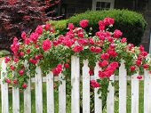 foto of climbing roses  - climbing red roses on white picked fence - JPG