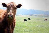 stock photo of cows  - A happy free range cow in front of the mountains - JPG