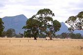 Eucalyptus Trees Grampians Victoria
