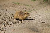 Cynomys - Prairie Dog Walking On Sand