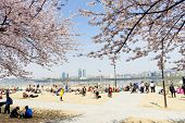 SEOUL, KOREA-APRIL 19: The ninth Yeouido Spring Flower Festival is being held in Yeouiseo-ro  near t
