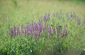 Background: purple sage flowers in  meadow on  sunny day.