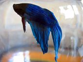 stock photo of fighter-fish  - a macro of my pet beta fish - JPG