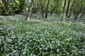 Spring Woodland with Ramsons