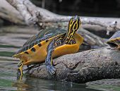 stock photo of cooter  - Photograph of a tutle basking on a log showing off his colorful underside and neck - JPG