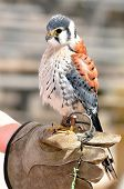 little American Kestrel (Falco sparverius)