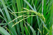 farmland paddy rice