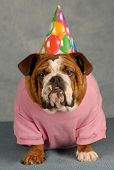 stock photo of dog birthday  - birthday dog  - JPG