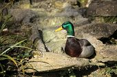 Mallard duck sitting on a rock