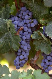 picture of wine grapes  - Grapes used in wine making.