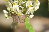 Grey Elfin Butterfly With Moringa Blossoms