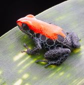 red reticulated poison dart frog. A tiny jewel of the rainforest, 15mm of pure beauty with vibrant red colours and blue reticulated legs. This poison dart frog lives in the rainforest of Peru