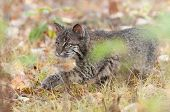 Bobcat (Lynx rufus) Stalks Through Grass