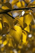 stock photo of cottonwood  - Natural detail of yellow cottonwood tree leaves - JPG