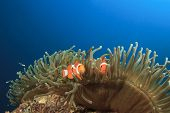 Clown Anemonefish in ocean