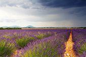 Endless Lavender Fields