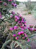 stock photo of xeriscape  - numerous blooms on a cholla cactus - JPG