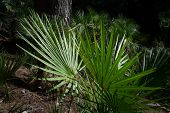 image of humiliation  - The endemic fan palm Chamaerops humilis - JPG