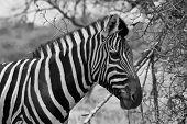 Zebra Head Side Profile Vector Black And White