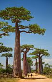 Baobab trees on a dry land and blue clear sky. Madagascar