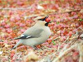 Waxwings on feeding