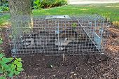 picture of trap  - Two small American raccoons caught in a live trap in a homeowners back yard - JPG