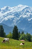 Herd Cows On Glade And Mont Blanc Mountain Massif (view From Plaine Joux Outskirts)