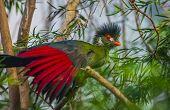 Beautiful Turaco Bird
