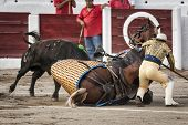 Brave bull of black color and 640 Kg knocks down the horse out of the chopper