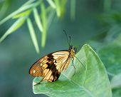African Swallowtail butterfly (Papilio dardanus)