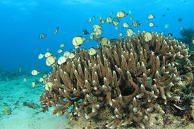 picture of damselfish  - Coral and Fish  - JPG
