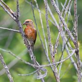 foto of crossbill  - Male Red Crossbill perched on a dead branch - JPG