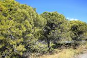 stock photo of pinus  - Stone Pine  - JPG
