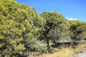 pic of pinus  - Stone Pine  - JPG