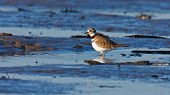 stock photo of killdeer  - A single Killdeer wading in a small tidal pool with ripples
