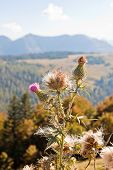 Close-up Thistle In Austrian Alps