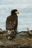 Nestling Steller's Sea Eagle in the nest