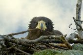 Nestling Steller's Sea Eagle in the nest