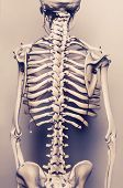 pic of spinal column  - Stylized background  photo of back of human skeleton model  - JPG