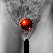 Bladder - Male anatomy of human organs - x-ray view