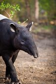 stock photo of tapir  - Malayan Tapir - JPG
