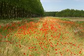 Poppy Flowers And Poplars, Lomellina (italy)