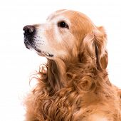 purebred golden retriever dog close-up   isolated on white background