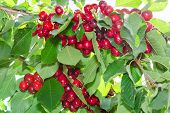 Branches Of Cherry Tree With Ripe Red Berries Fruits
