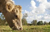 stock photo of charolais  - Close up of Charolais cow grazing in the field - JPG