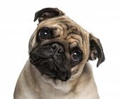 picture of pug  - Headshot of a Pug  - JPG