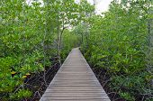 Wooden Pathway In Mangrove Forest