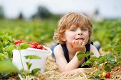 Little Boy Picking And Eating Strawberries On Berry Farm