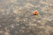 image of baby spider  - One Millimeter Long Red Baby Spider Close Up